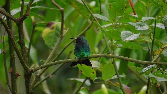 Shining-green Hummingbird