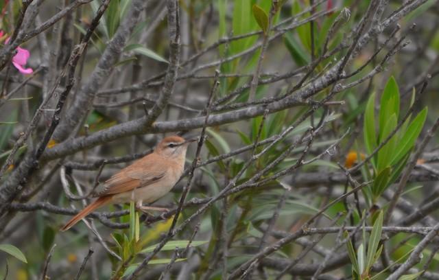 Rufous-tailed Scrub-Robin (Rufous-tailed)