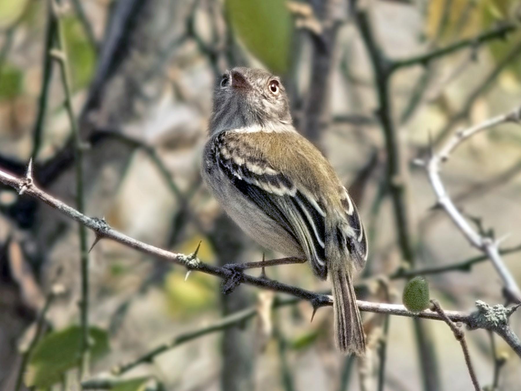 Pale-eyed Pygmy-Tyrant - Nelson Cumare