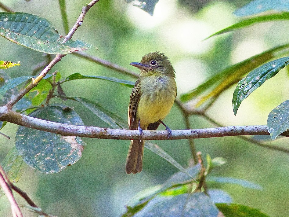 Olivaceous Flatbill - Ryan Shaw
