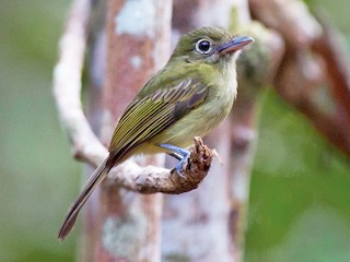 - Olivaceous Flatbill