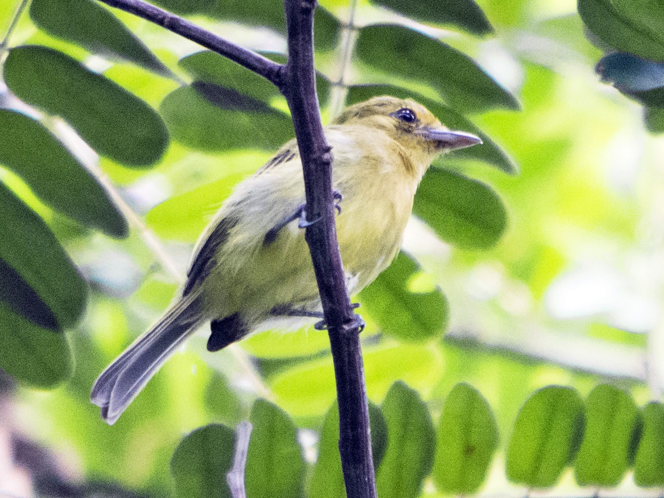 Yellow-breasted Flycatcher - Jerome Foster
