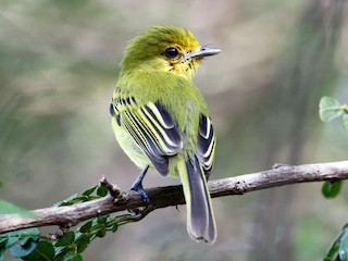 - Yellow-breasted Flycatcher