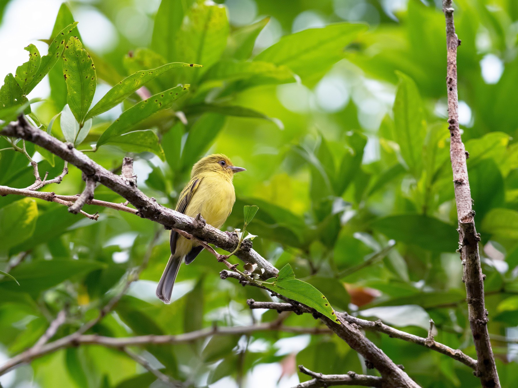 Yellow-breasted Flycatcher - Shailesh Pinto