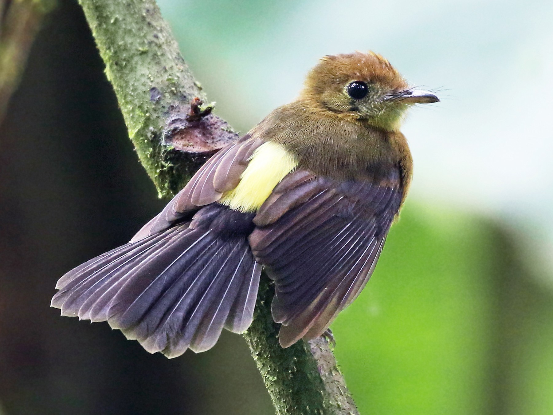 Tawny-breasted Flycatcher - Andrew Spencer