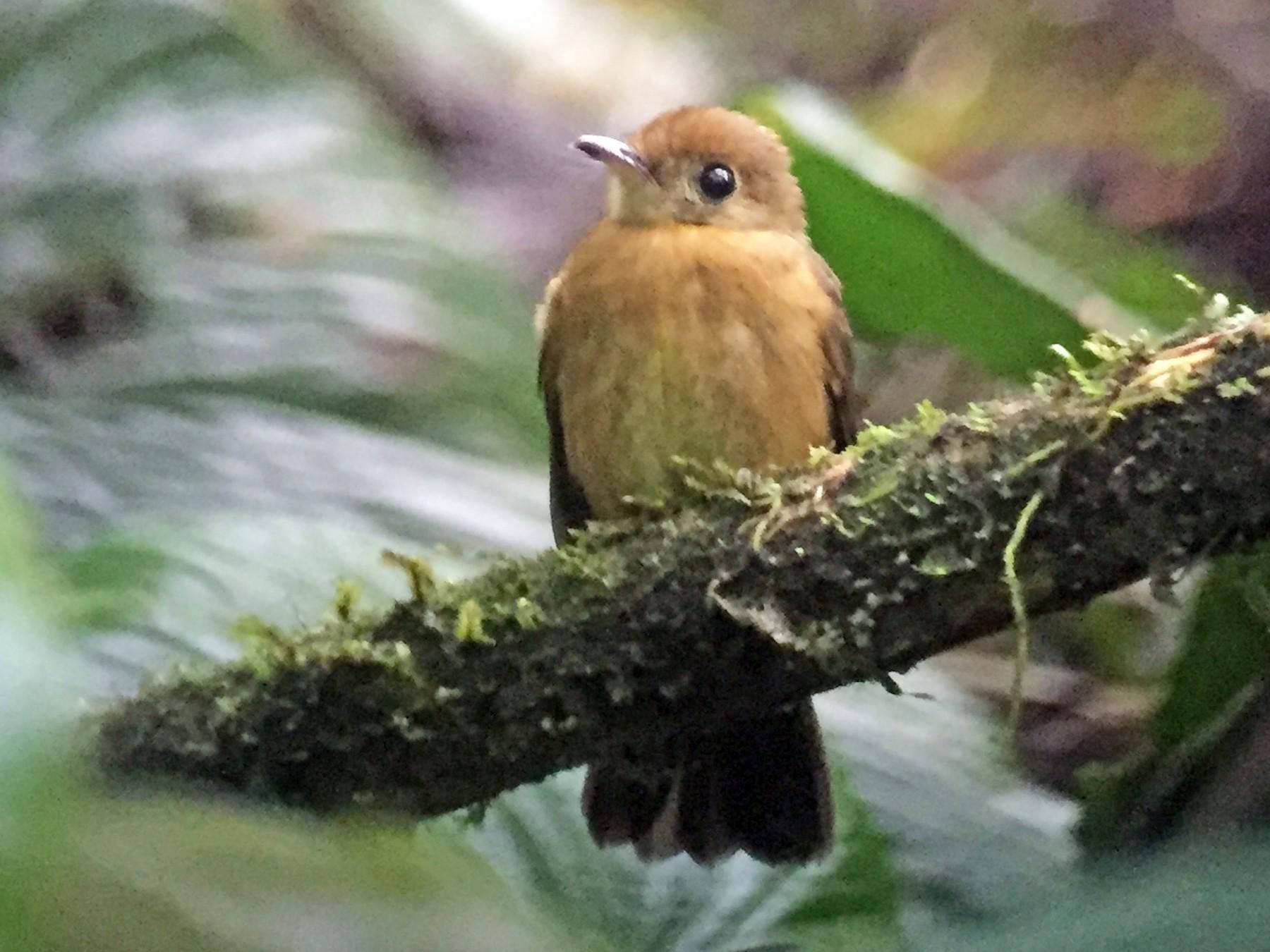 Tawny-breasted Flycatcher - javier arias villota