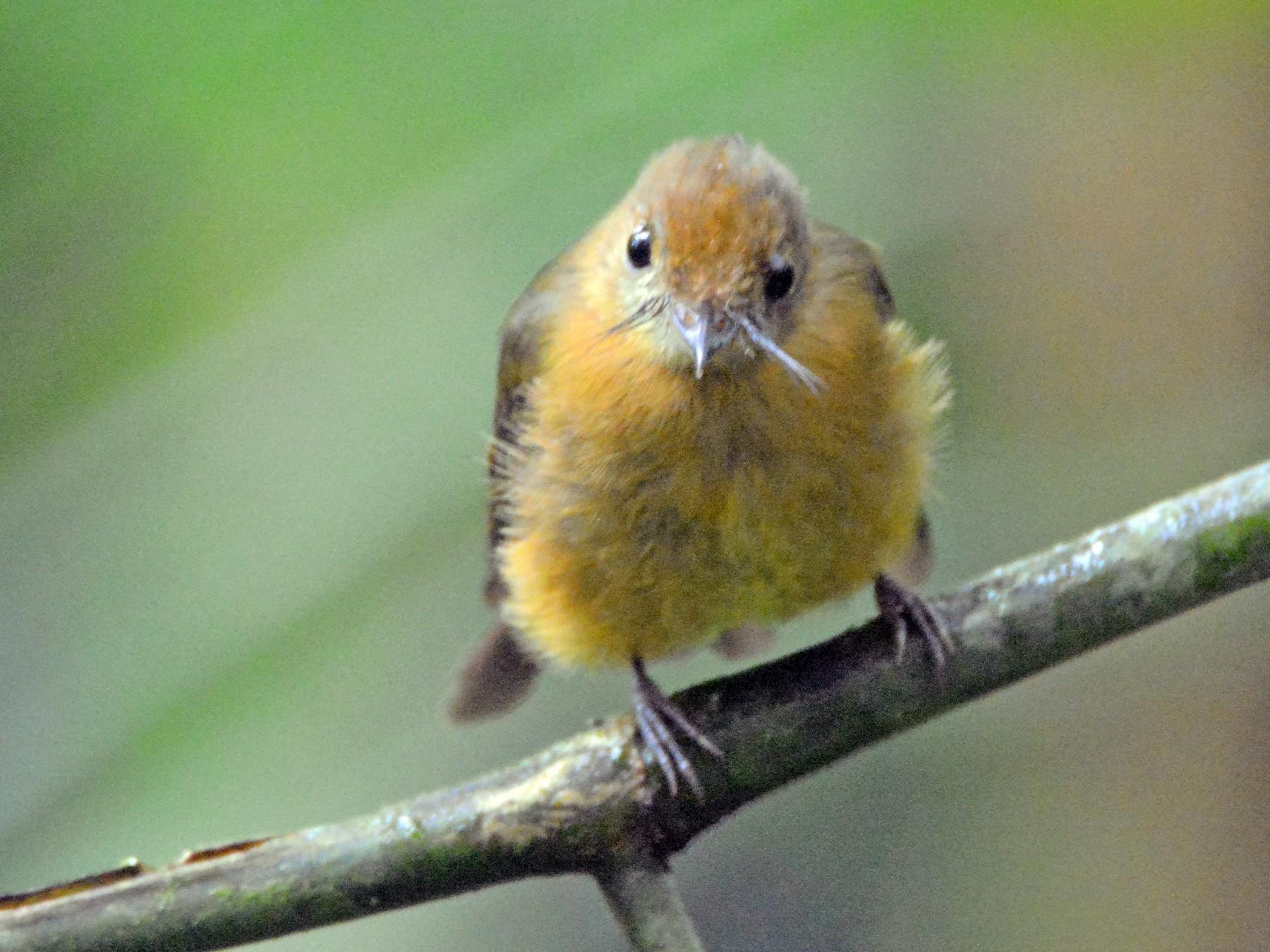 Tawny-breasted Flycatcher - Richard Garrigus