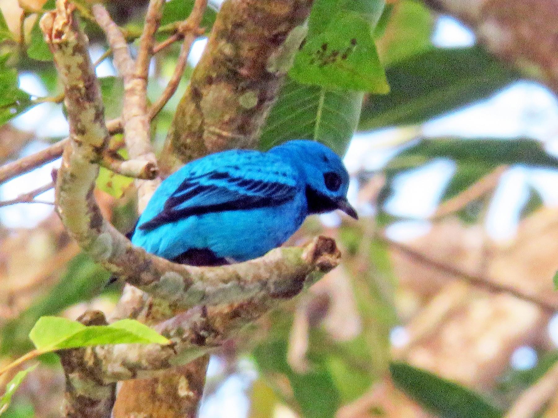 Blue Cotinga - Rolando Jordan