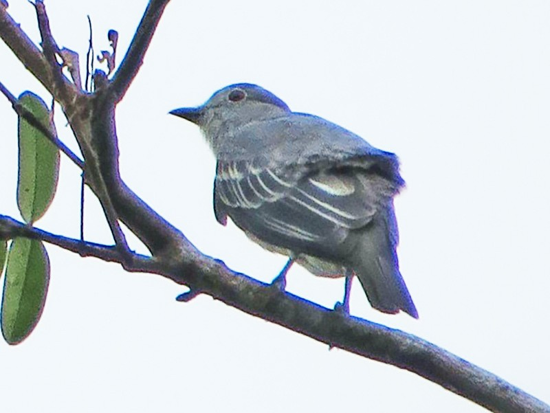 Black-tipped Cotinga - Nick Bayly (SELVA)