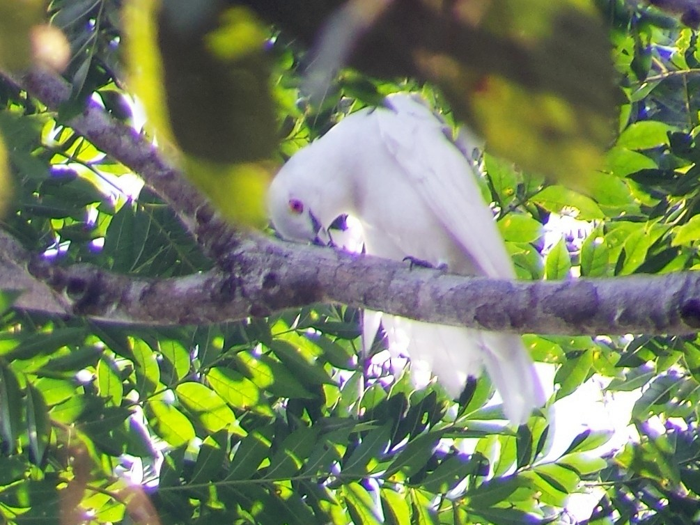 Black-tipped Cotinga - David M. Bell