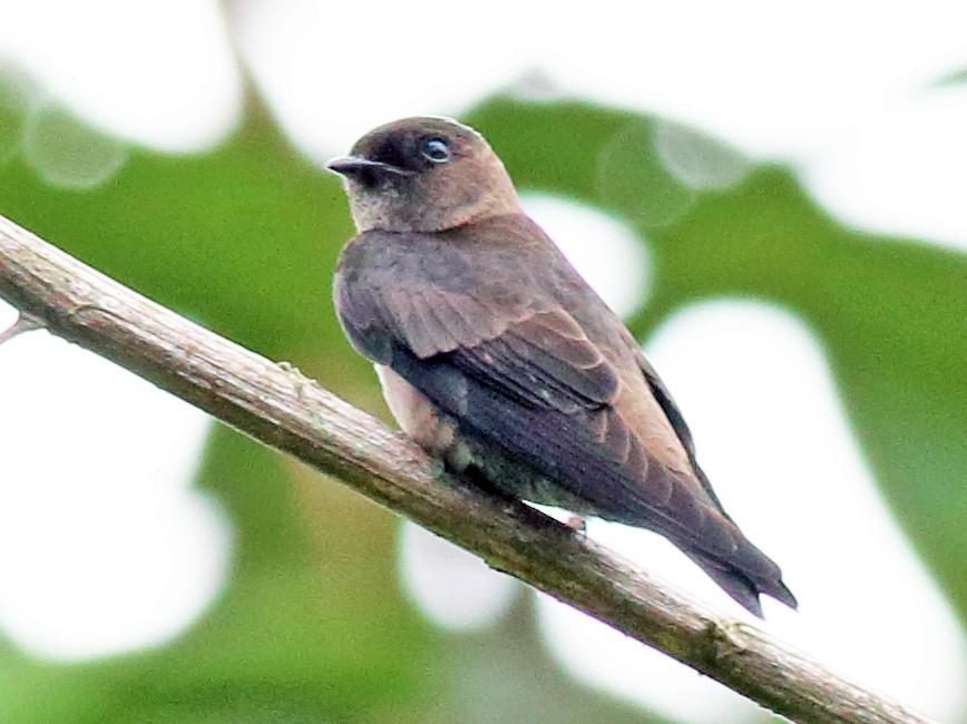 White-thighed Swallow - Rick Folkening