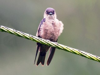 - White-thighed Swallow
