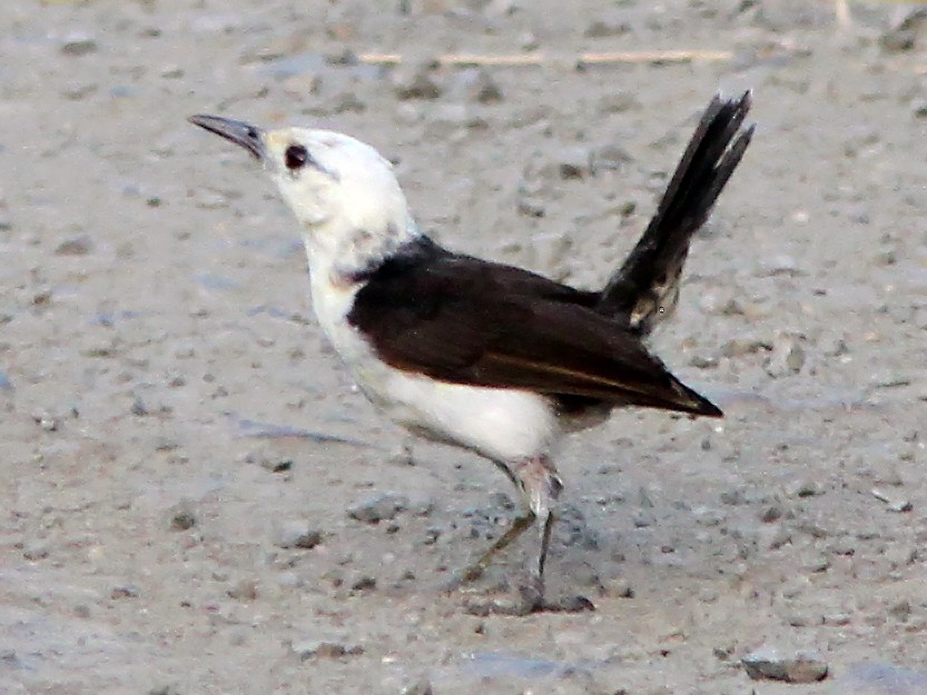 White-headed Wren - Bradley Hacker
