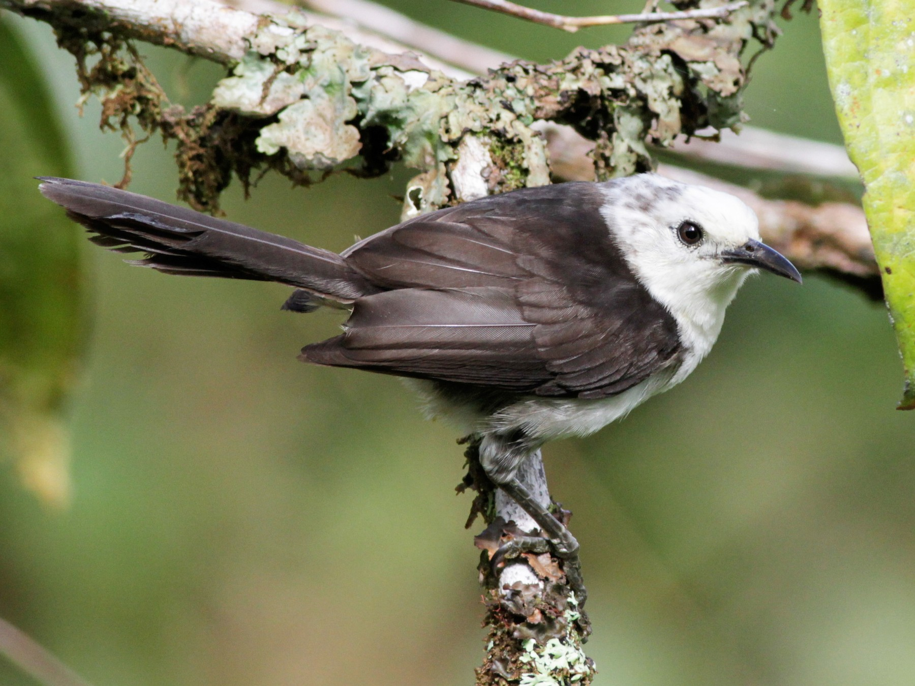 White-headed Wren - Ian Davies