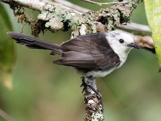 - White-headed Wren