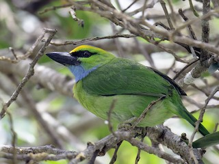 - Yellow-crowned Barbet