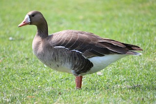 Greater White-fronted Goose, ML57777401