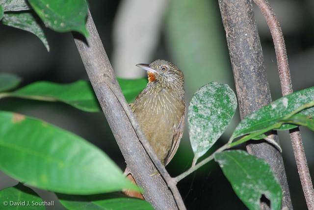 Orinoco Softtail