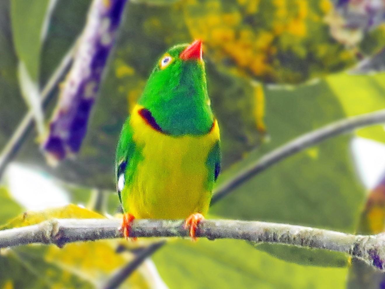 Yellow-collared Chlorophonia - Jorge Muñoz García   CAQUETA BIRDING