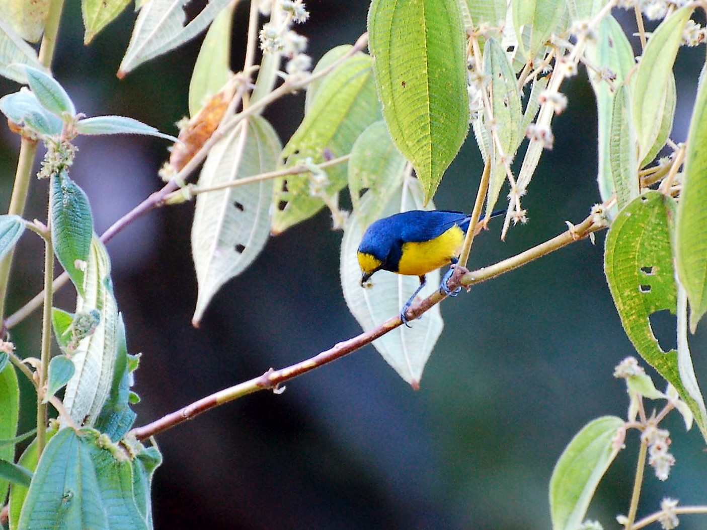 Fulvous-vented Euphonia - David Fraser