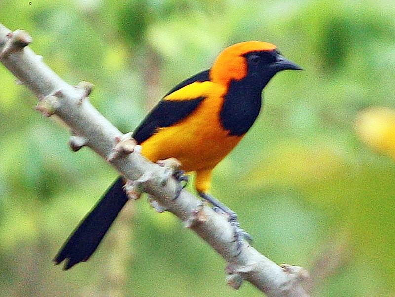 Orange-crowned Oriole - Paul Oehrlein