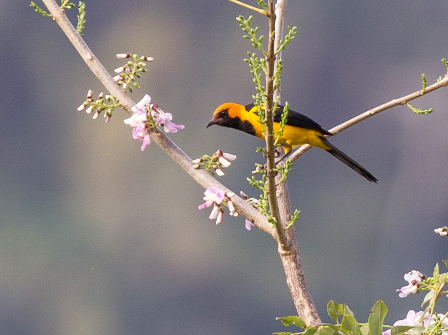 Orange-crowned Oriole - Rob Felix