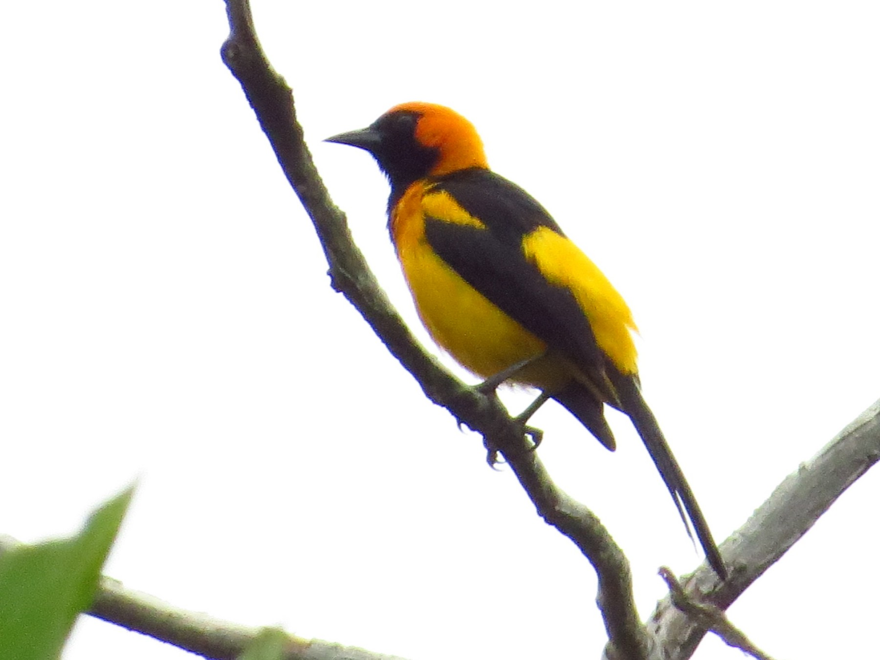 Orange-crowned Oriole - Bryant Olsen