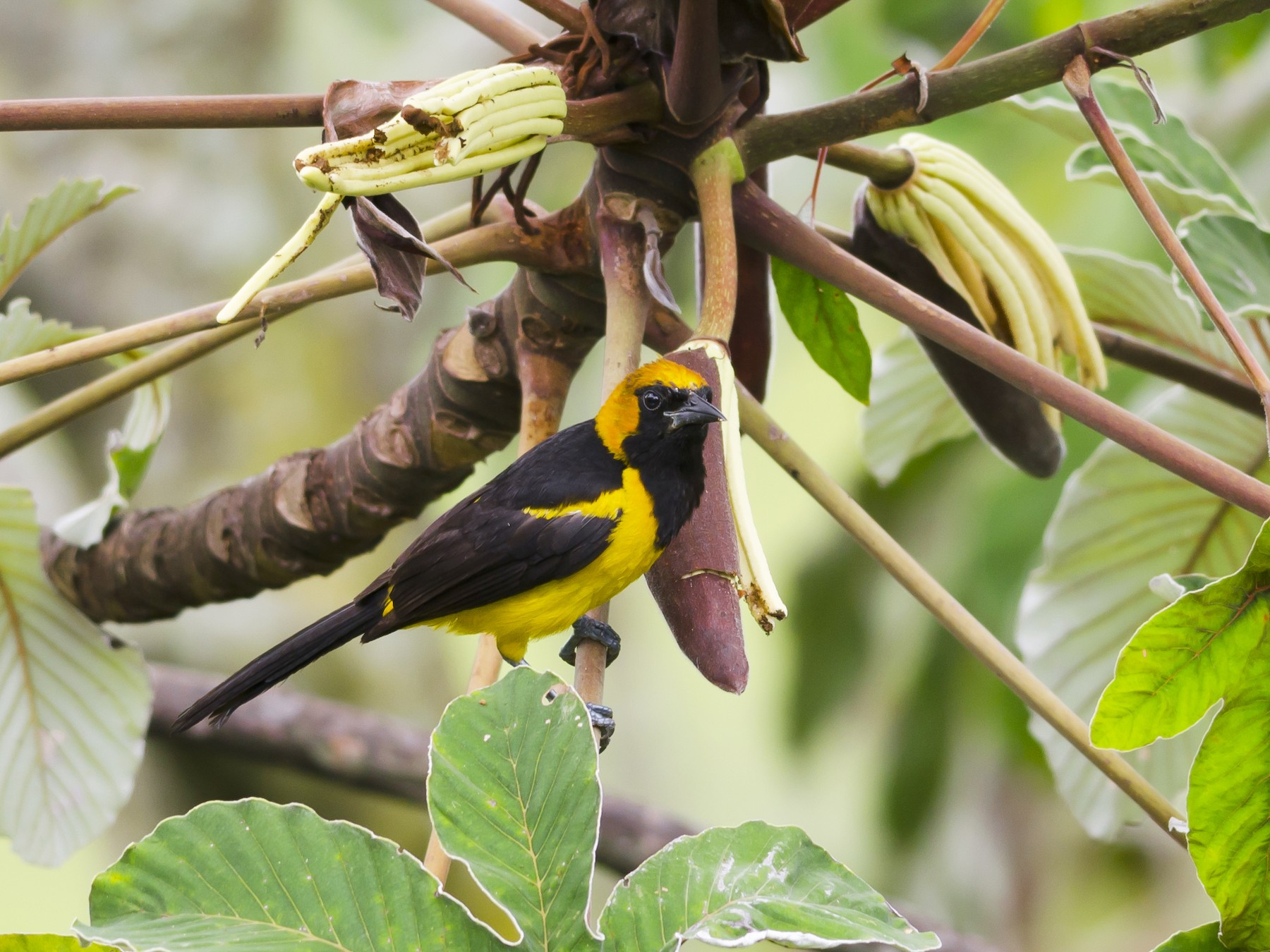 Orange-crowned Oriole - Neil Diaz