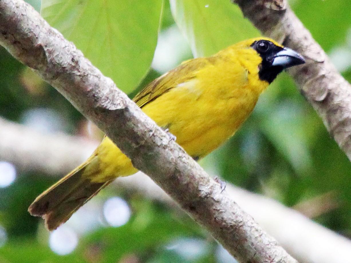 Yellow-green Grosbeak - Alexander Lees