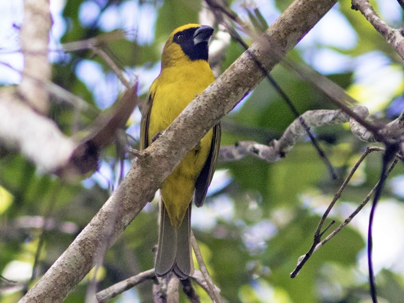 Yellow-green Grosbeak - Caio Brito