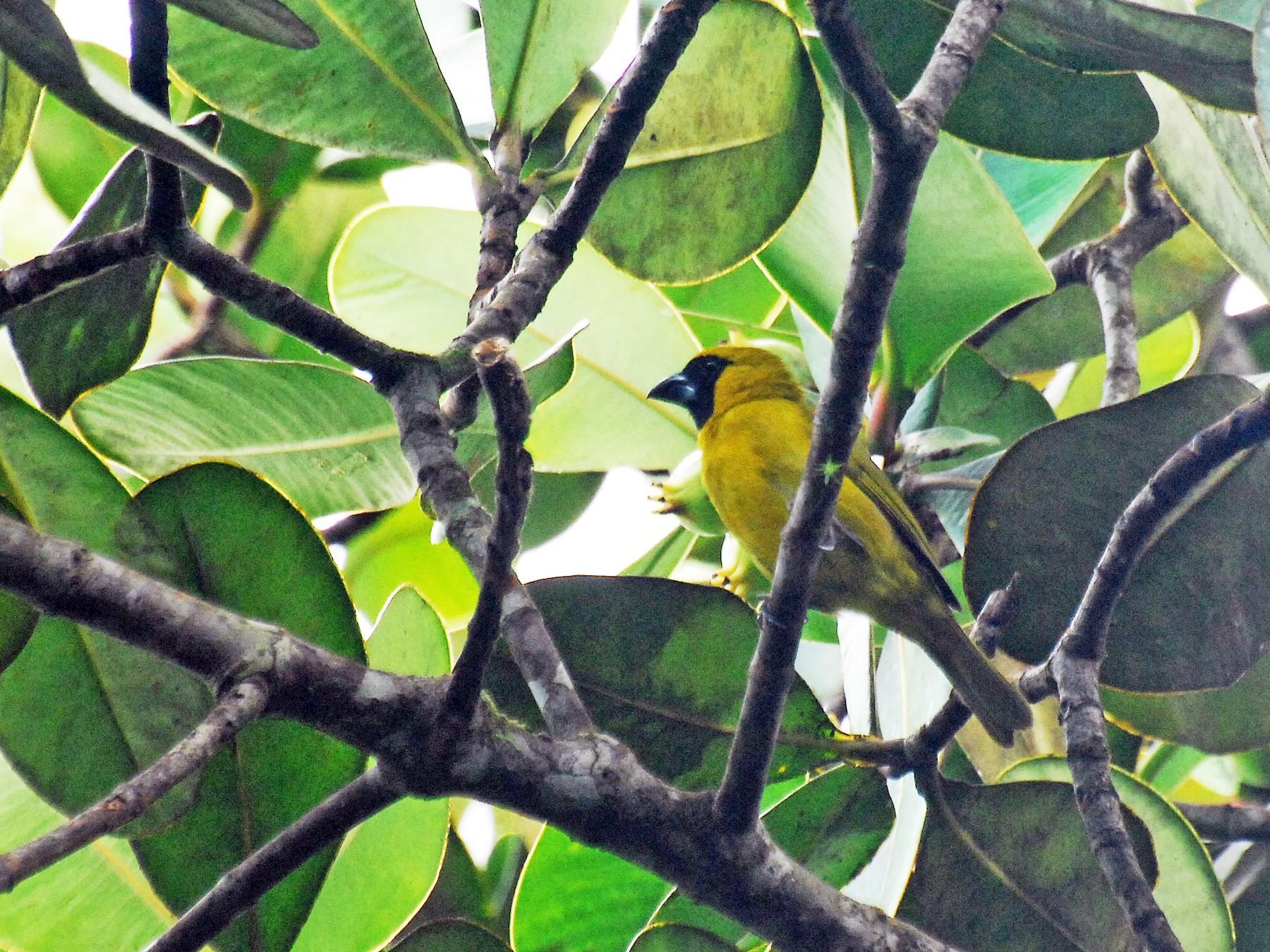 Yellow-green Grosbeak - David M. Bell
