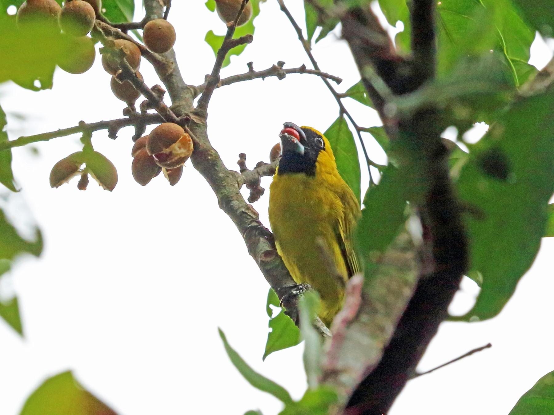 Yellow-green Grosbeak - Nigel Voaden