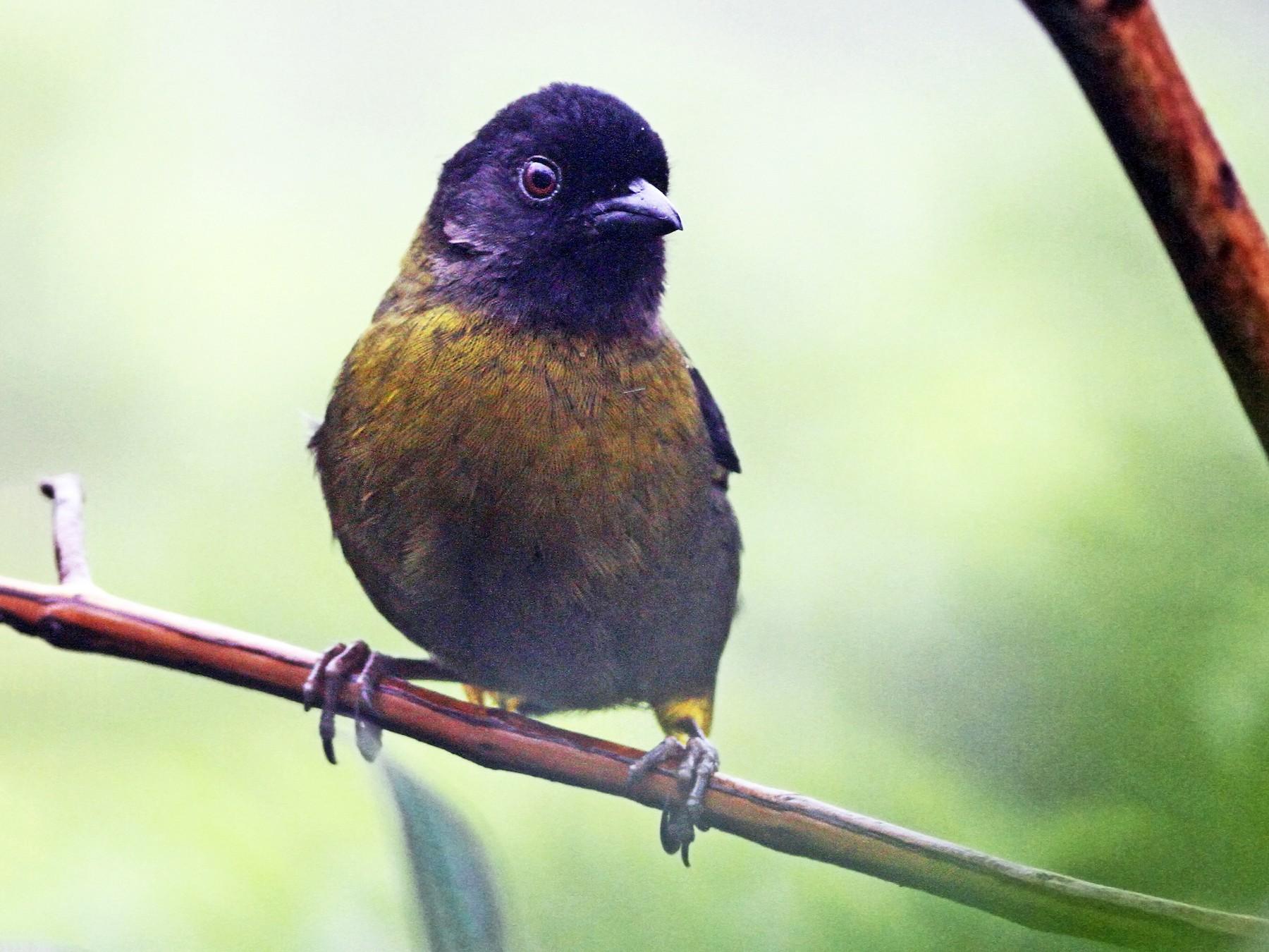 Yellow-green Brushfinch - Andrew Spencer