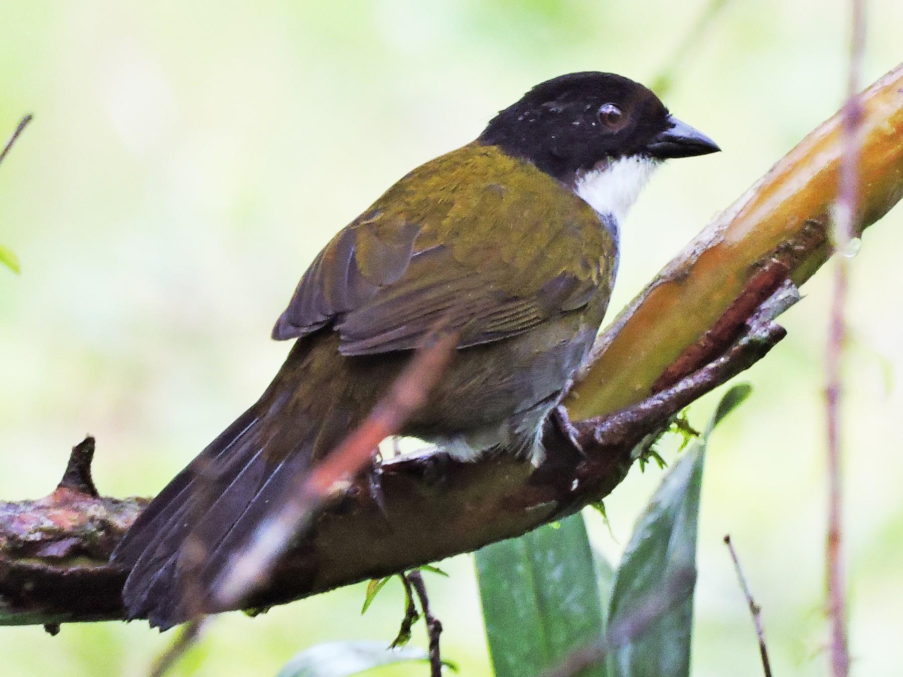 Black-headed Brushfinch - Edwin Munera