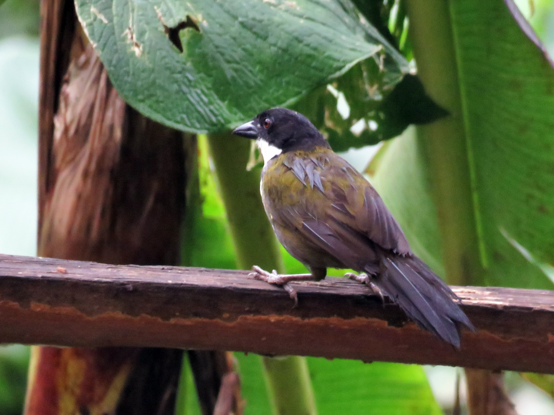 Black-headed Brushfinch - Juan Pablo Arboleda