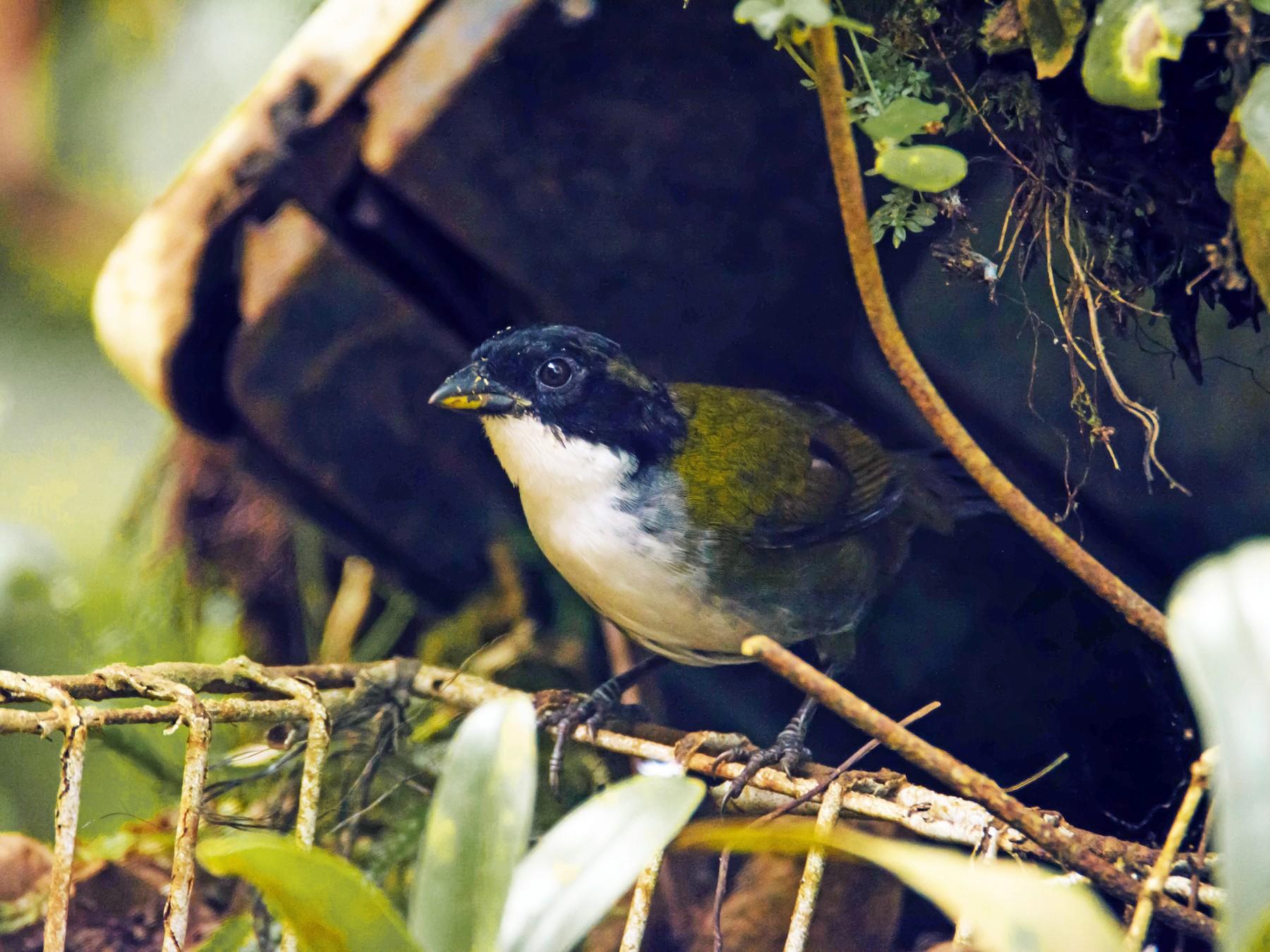 Black-headed Brushfinch - Juan Sebastian Moreno