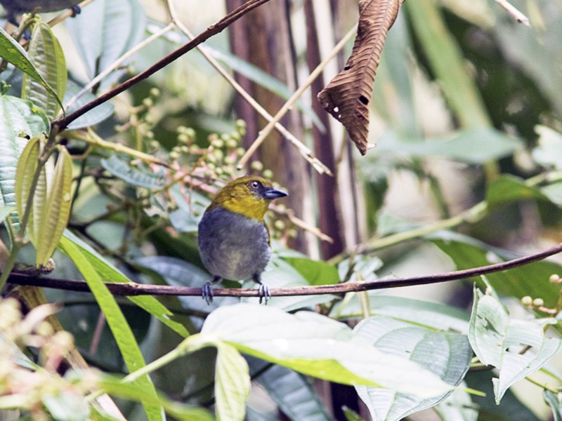 Yellow-throated Chlorospingus - Silvia Faustino Linhares
