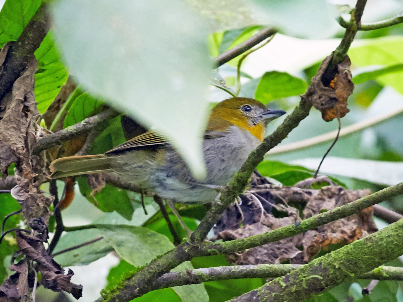 Yellow-throated Chlorospingus - Brooke Miller