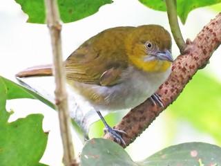 - Yellow-throated Chlorospingus