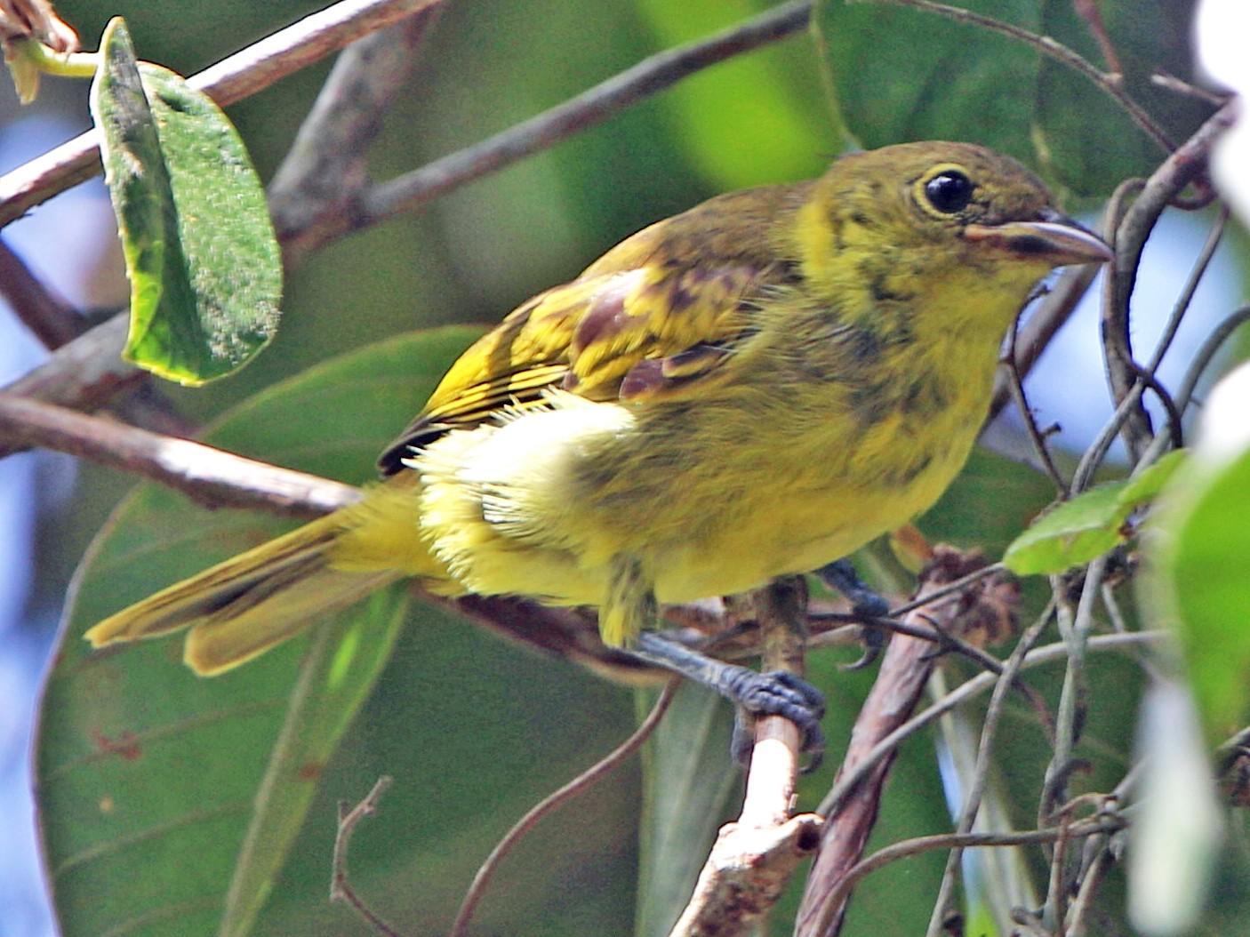 Yellow-backed Tanager - Thompson Ian