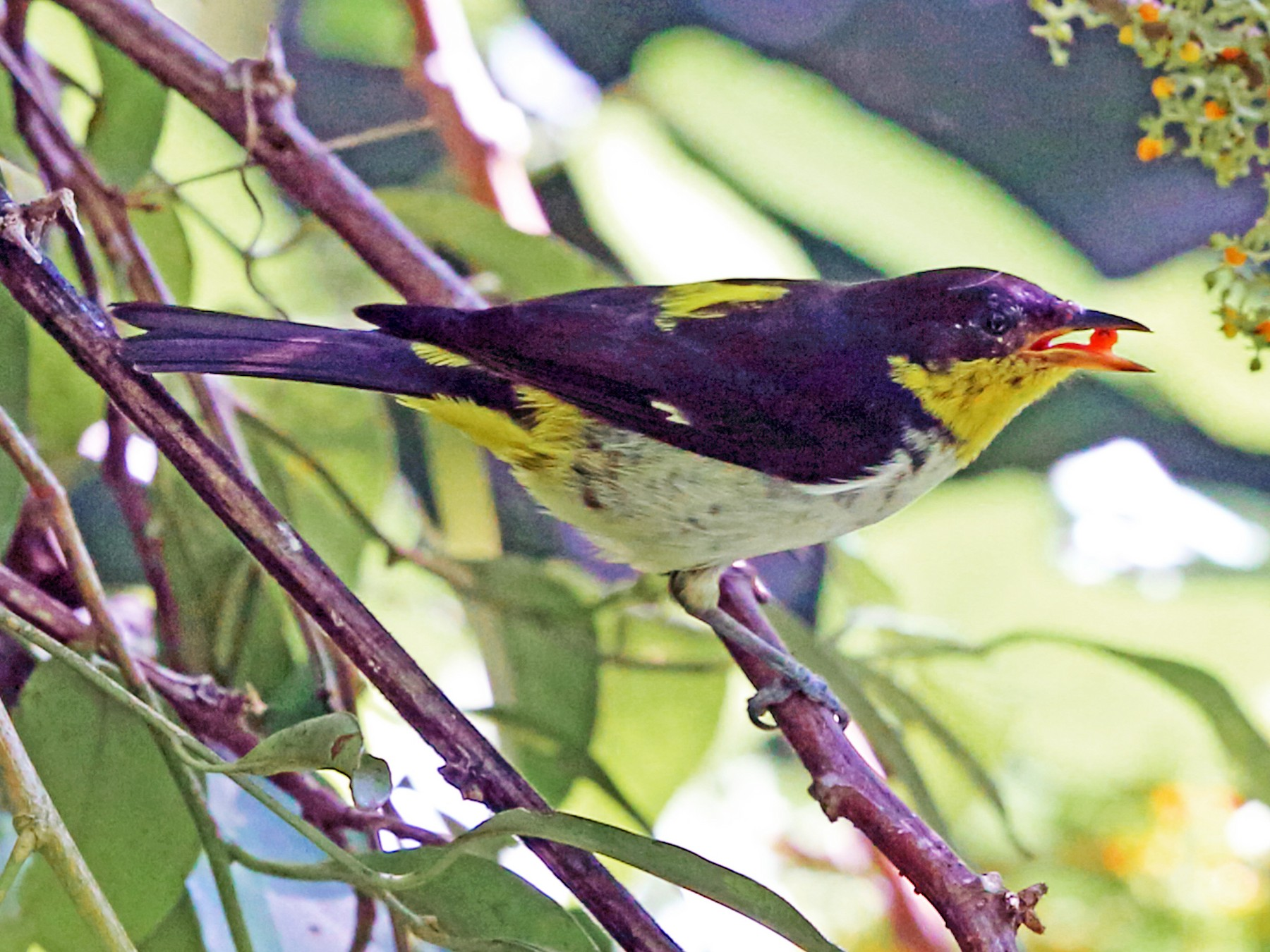 Yellow-backed Tanager - Nigel Voaden