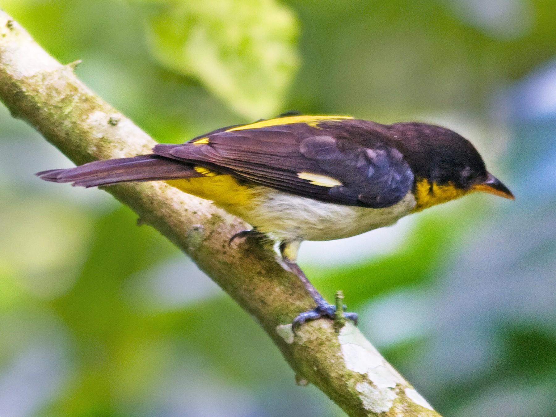 Yellow-backed Tanager - Marbry Hopkins