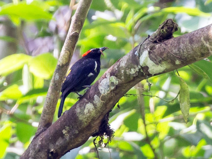 Scarlet-browed Tanager - Rob Felix