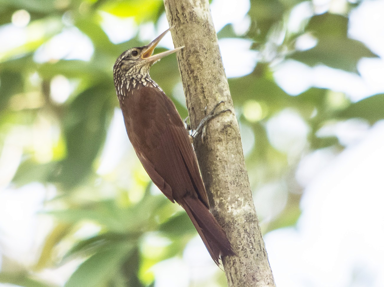Straight-billed Woodcreeper - Jerome Foster