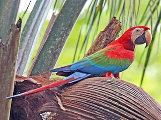 - Red-and-green Macaw