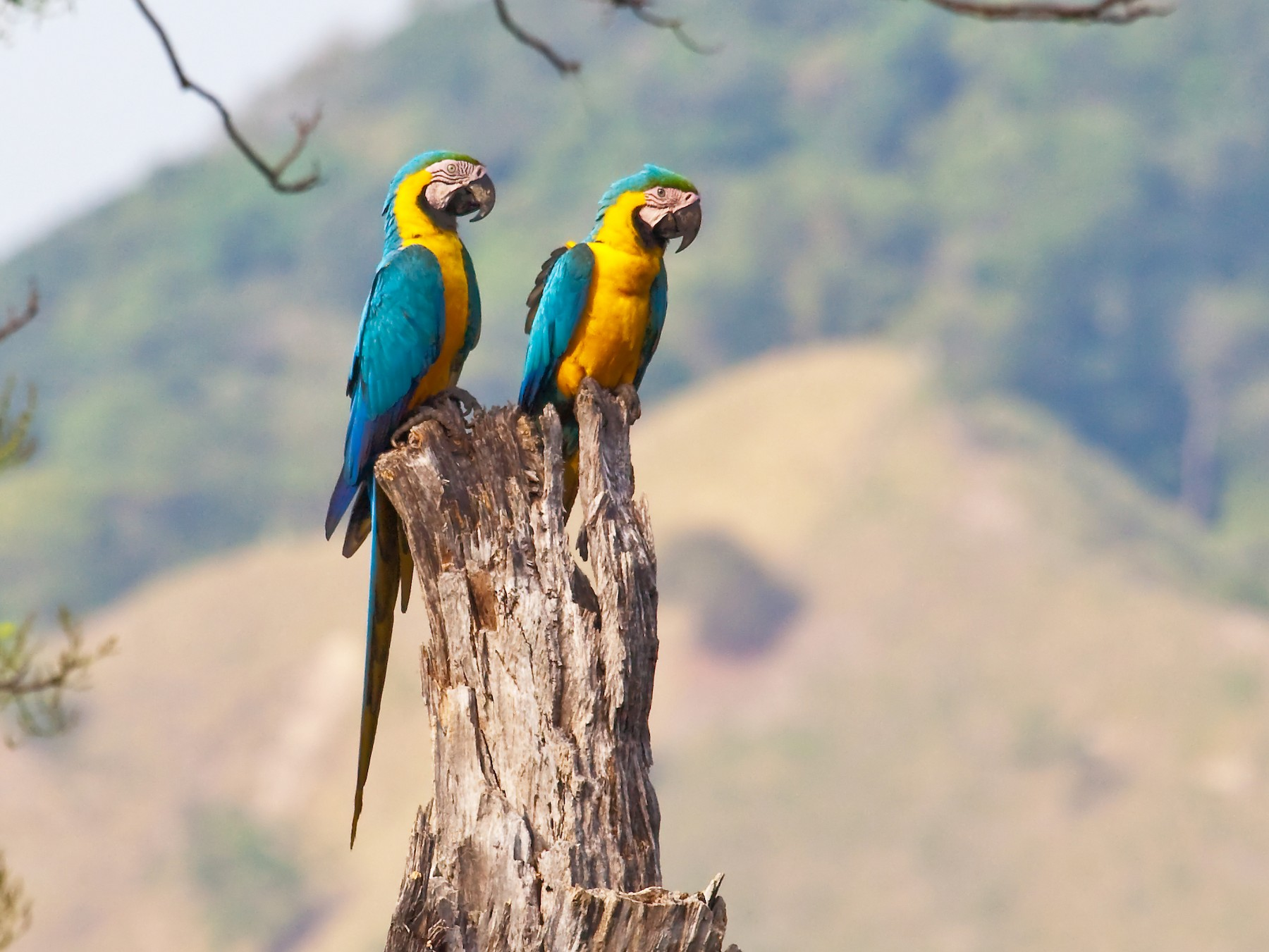 Blue-and-yellow Macaw - Nigel Voaden