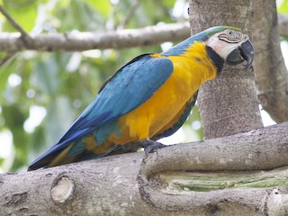 - Blue-and-yellow Macaw