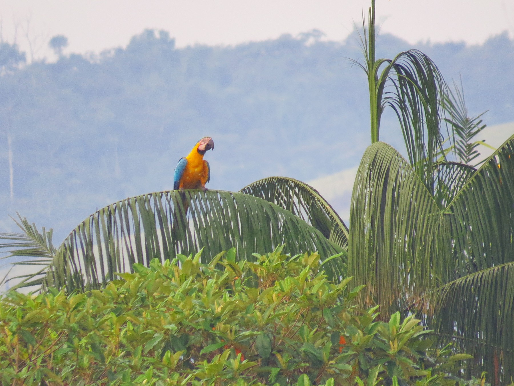 Blue-and-yellow Macaw - Jorge Muñoz García   CAQUETA BIRDING