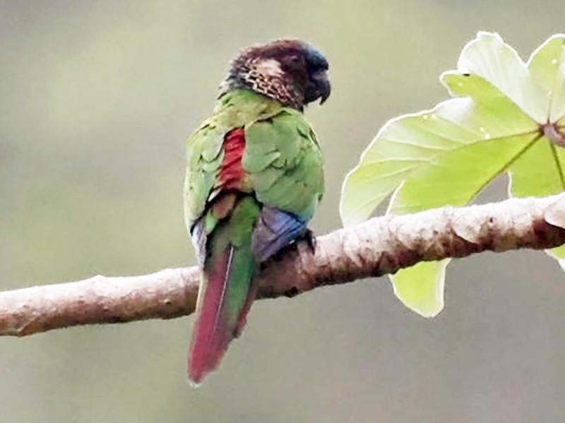 Painted Parakeet - Tom Murray