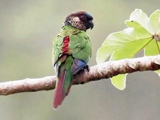 - Painted Parakeet